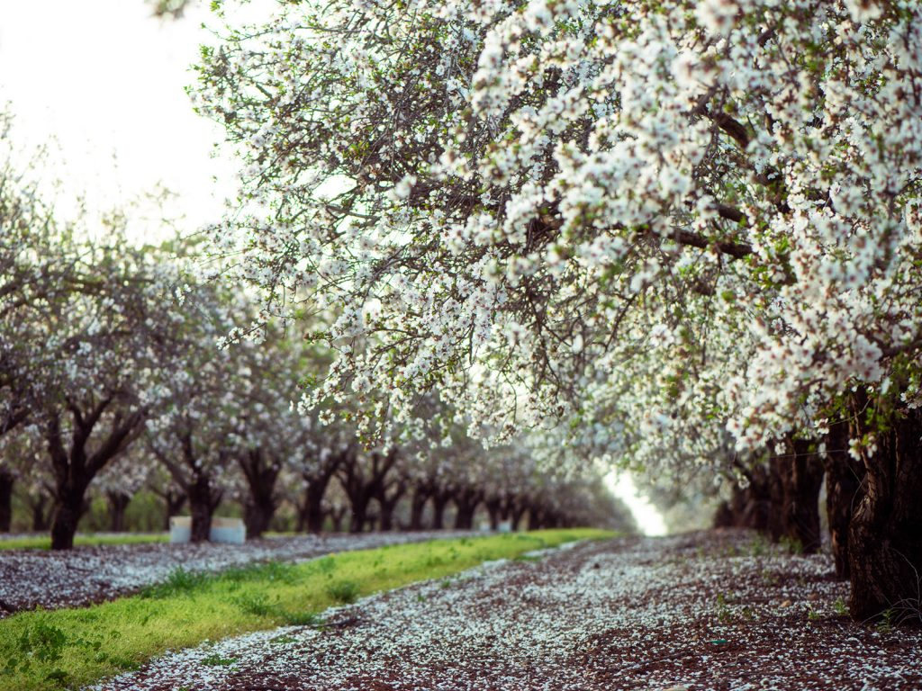 Almond orchard blossoming in the Central Valley